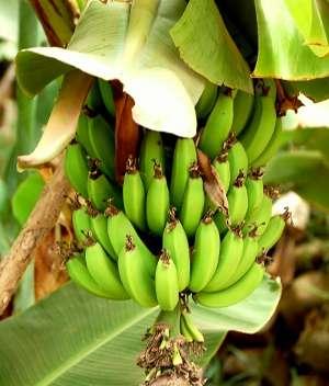 bananas_2.jpg - 16.91 kB
